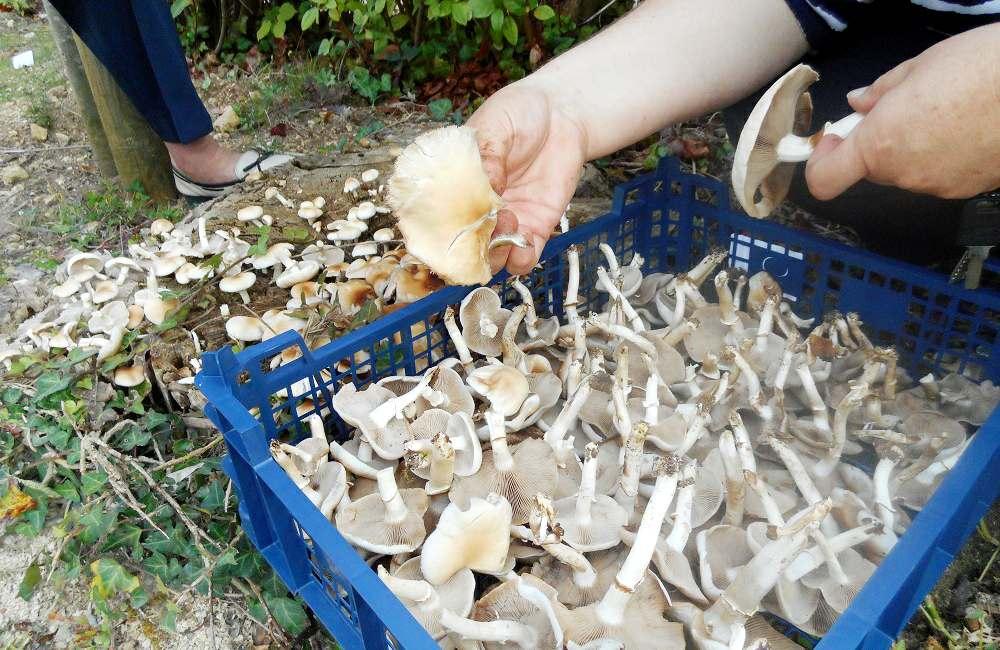 Cueillette « surprise » de champignons dans le parc d'Espace & Vie Niort